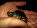 Tapeta želva v dlaních