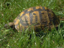 Tapeta Želva v trávě