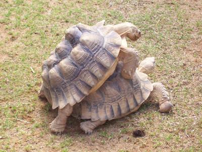 Tapeta: Želví milenci
