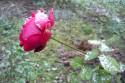 Tapeta Zimní růže...