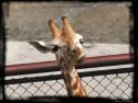 Tapeta Žirafa - zoo Olomouc