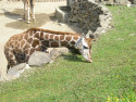 Tapeta Žirafa  Lešná