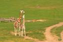 Tapeta Žirafa a žirafka
