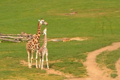 Tapeta: Žirafa a žirafka