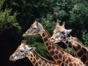 Tapeta Žirafy 3