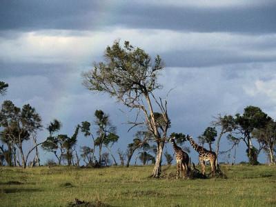 Tapeta: Žirafy 7