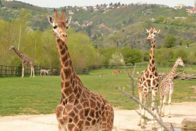 Tapeta: Žirafy 2