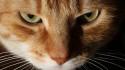 Tapeta zlá kočka