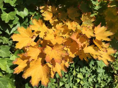 Tapeta: Zlaté listí
