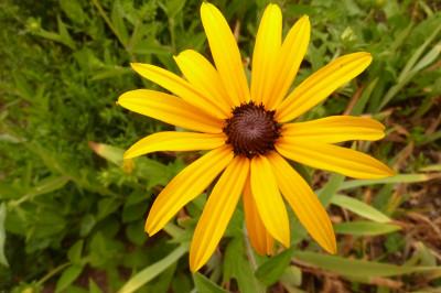 Tapeta: Žlutá kopretina 2