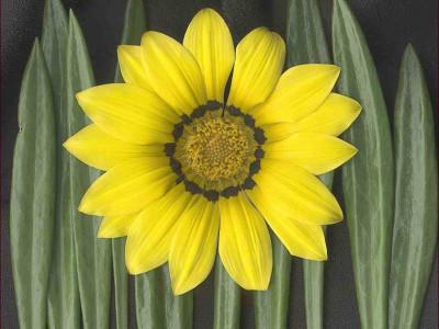 Tapeta: Žlutá květina