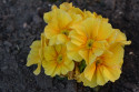 Tapeta Žlutá prvosenka