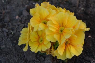 Tapeta: Žlutá prvosenka