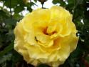 Tapeta Žlutá růže s broučkem