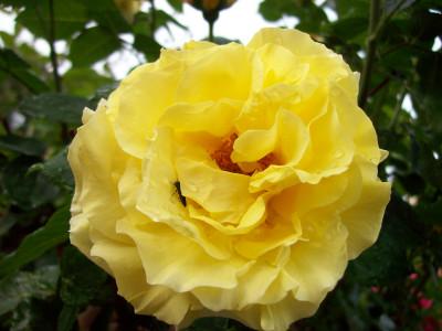 Tapeta: Žlutá růže s broučkem