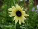Tapeta Žlutá slunečnice