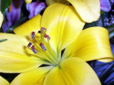Tapeta Žlutá lilie