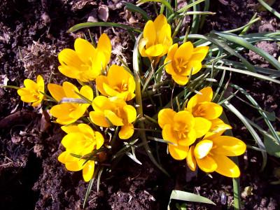 Tapeta: Žluté krokusy