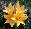 Tapeta Žluté lilie