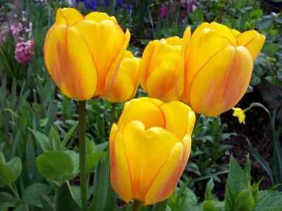 Tapeta: Žluté tulipány