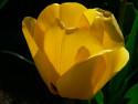 Tapeta Žlutý tulipán