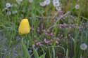 Tapeta Žlutý tulipán 1