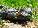 Tapeta zmije