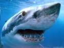 Tapeta Žralok