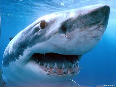 Tapeta: Žralok