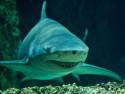 Tapeta Žralok ve vodě