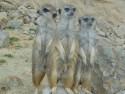 Tapeta Zvědavé surikaty