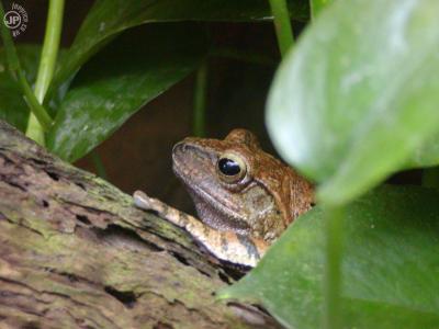 Tapeta: Frog on a log