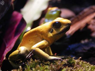 Tapeta: Macro Frog