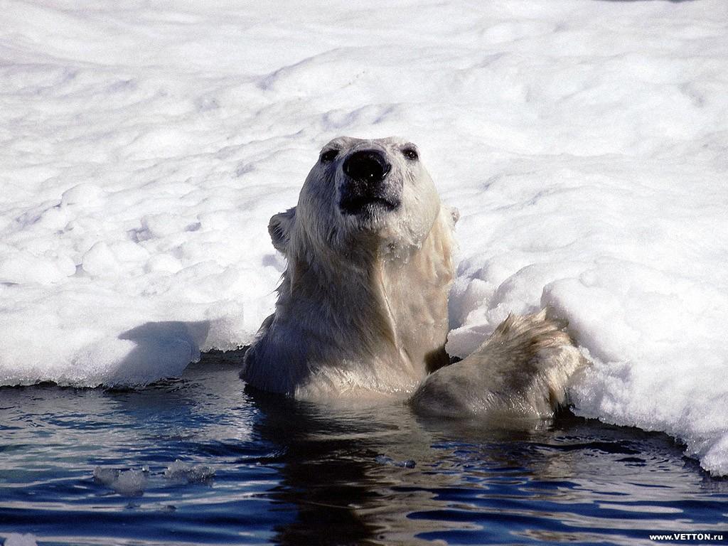 Tapeta polarnimedvedi2