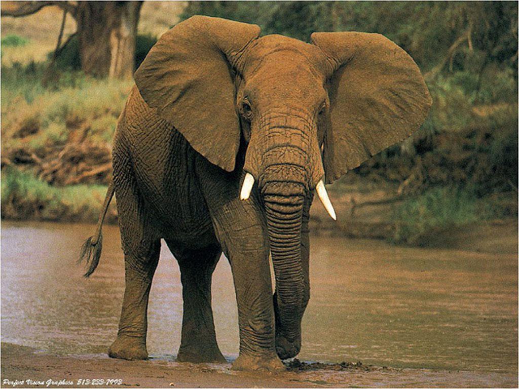 Tapeta slonik