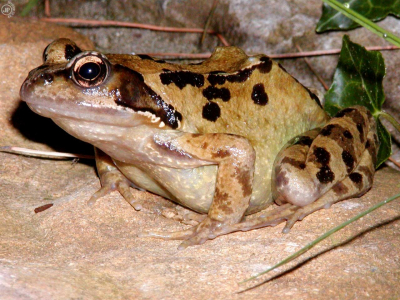 Tapeta: The Warty Frog