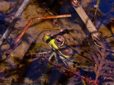 Tapeta: Žába