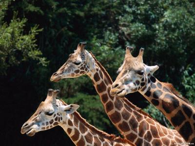 Tapeta: Žirafy 3