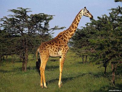 Tapeta: Žirafy 6