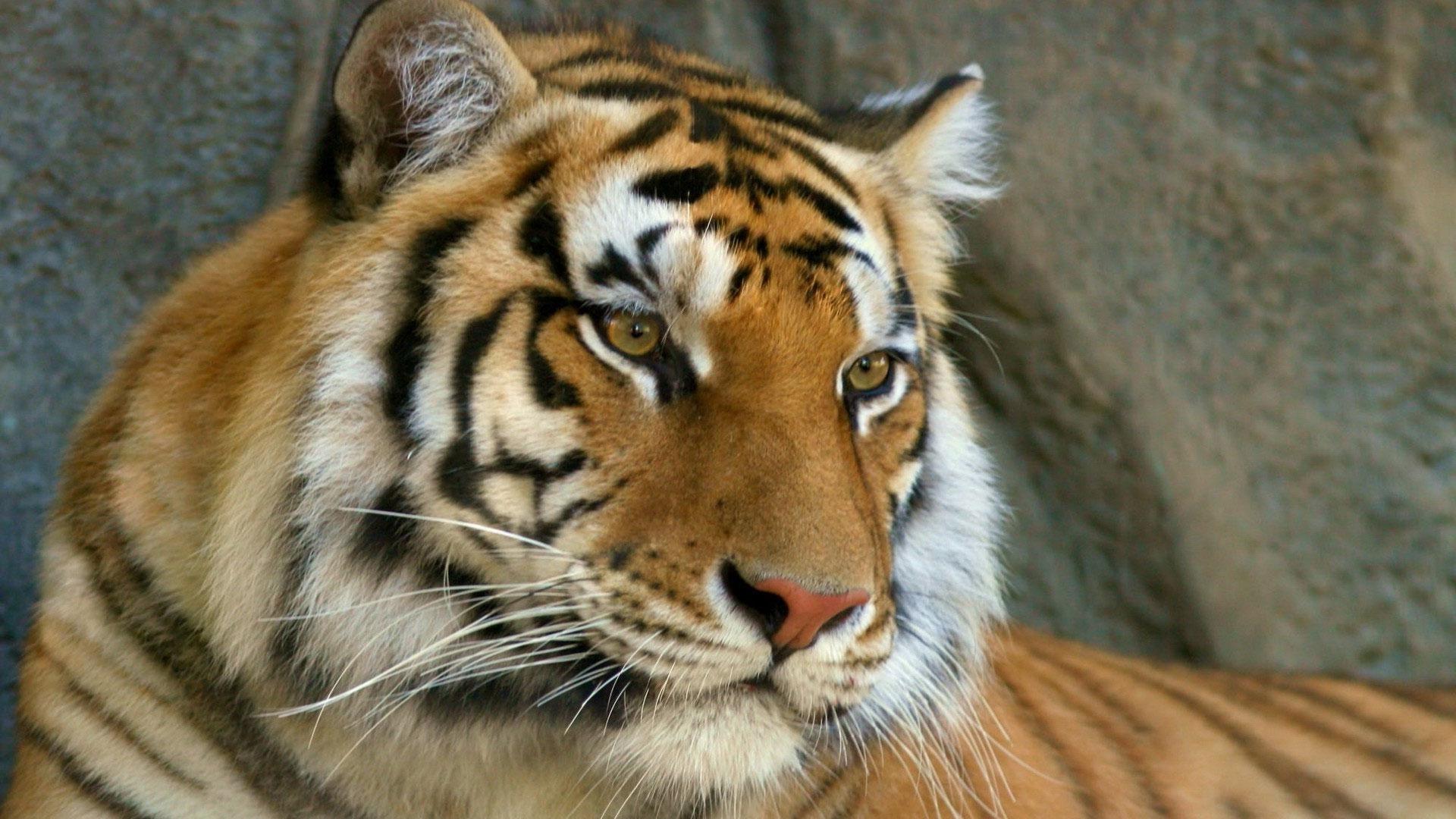 Tiger Face HD Wallpaper Download For Laptop amp Mobile